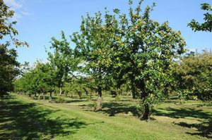 Orchards Dupont estate Normandy