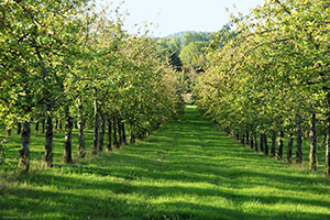 Orchards - Apple tree