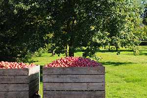 Apple harvesting