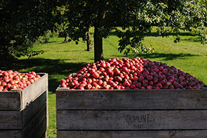 Domaine Dupont - Apple harvesting